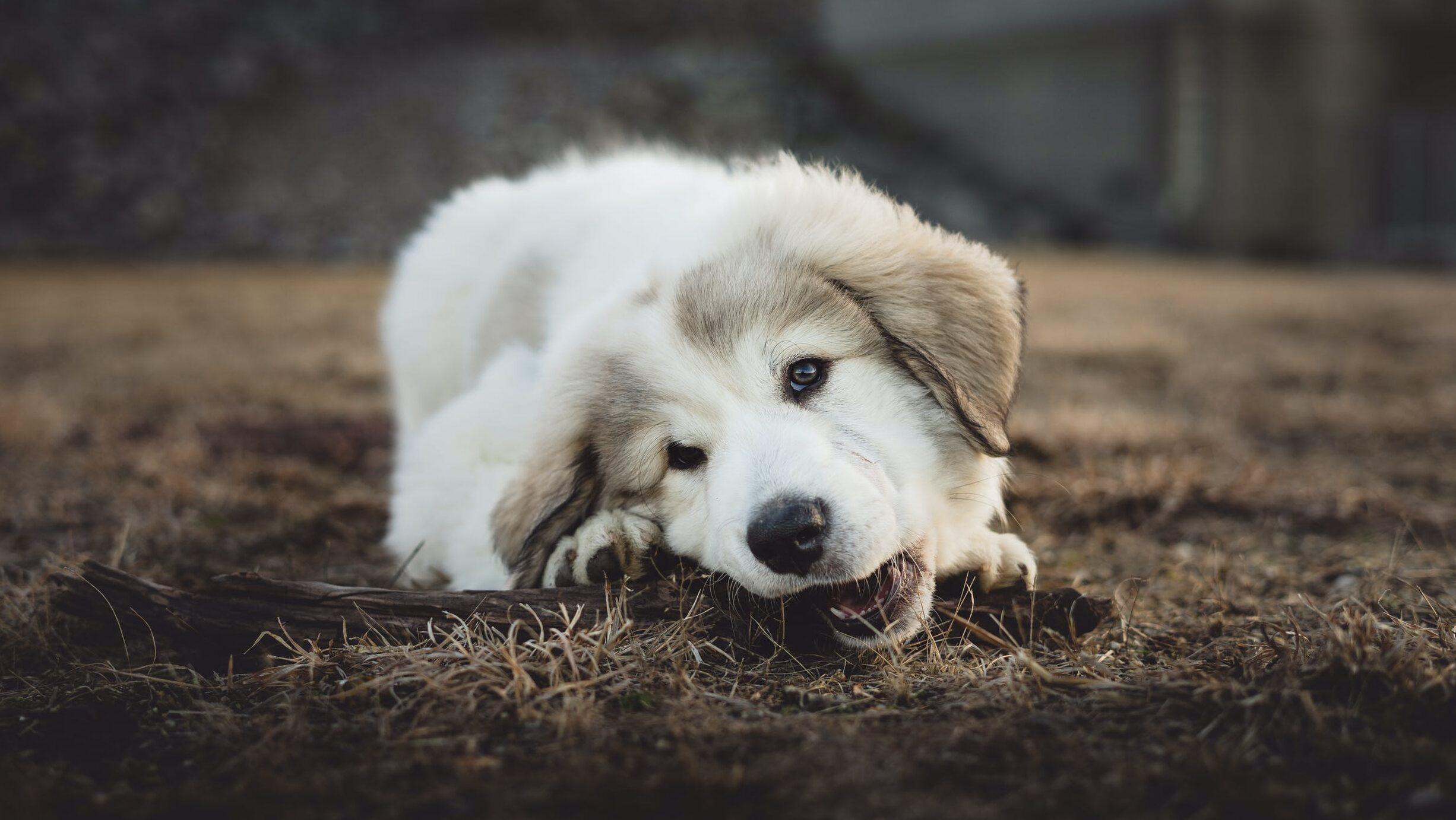 パウパトロールのスカイがかわいい!イラストの塗り絵が無料?おもちゃや服、声優や犬種のイメージ画像8